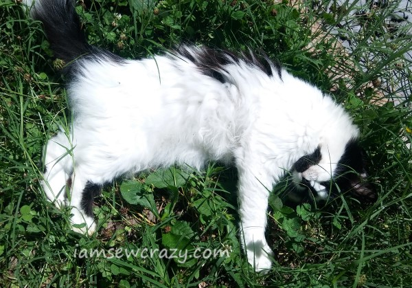 black and white longhaired cat lying in the grass acting cute