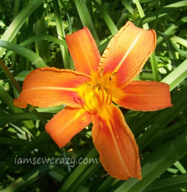 orange and yellow daylily flower