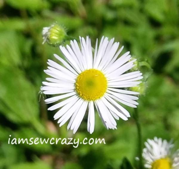 wild daisy flower