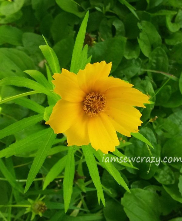 yellow cosmo flower with bent petals